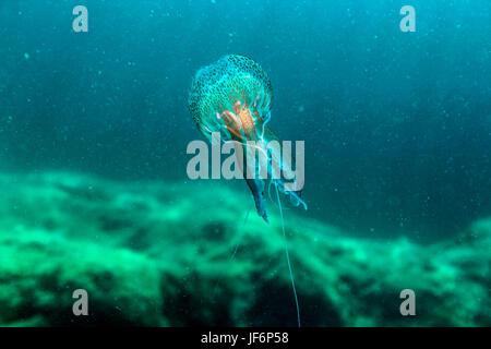 A luminescent Jellyfish (Pelagia noctiluca) - Stock Photo