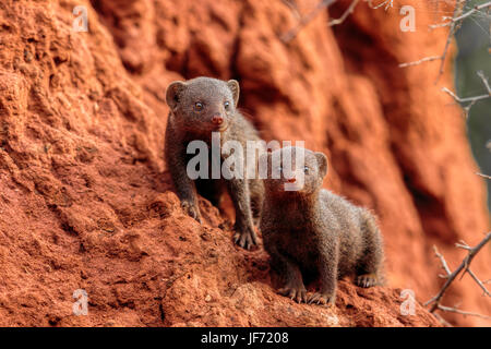 Pair of Dwarf Mongoose (Helogale Parvula) sat on a termite mound looking forwards. Kruger National Park - South - Stock Photo