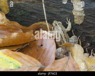 Grasfrosch, Rana temporaria - Stock Photo