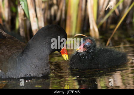 Common Moorhen (Gallinula chloropus) adult feeding its chick - Stock Photo