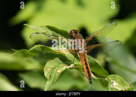 female Scarce Chaser (Libellula fulva) dragonfly basking in the sun on the top of a bush - Stock Photo
