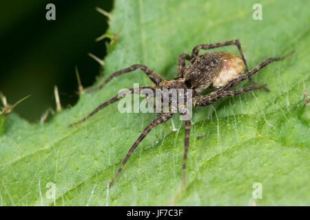 female Narrow-legged Wolf Spider (either Pardosa monticola or P. palustris) carrying an eggsac - Stock Photo