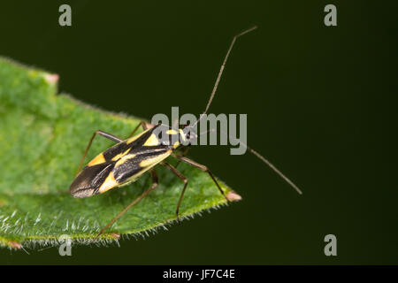 Grypocoris stysi (Mirid Bug) on a Stinging Nettle leaf - Stock Photo