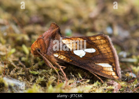 Gold Spot moth (Plusia festucae) at rest on moss - Stock Photo