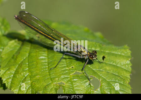 female Banded Demoiselle (Calopteryx splendens) - Stock Photo