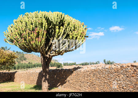 Ethiopia, Axum,  an euphorbia tree between the ruins of the baths of the Queen of Saba - Stock Photo