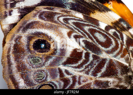 close up of a butterfly wing with beautiful patterns and scaly texture - Stock Photo