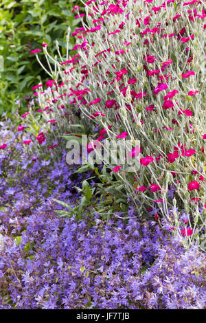 Silvery foliage and red-pink flowers of the summer flowering  Lychnis coronaria contrasts with the spreading blue - Stock Photo