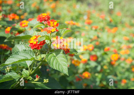 Lantana camara flowers - Stock Photo