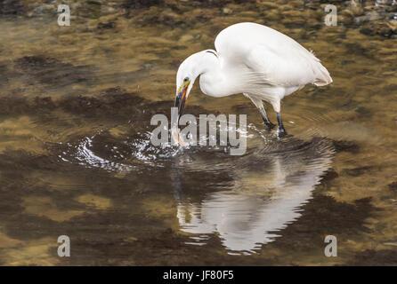 Little Egret (Egretta garzetta) standing in shallow water catching a fish in its beak. - Stock Photo