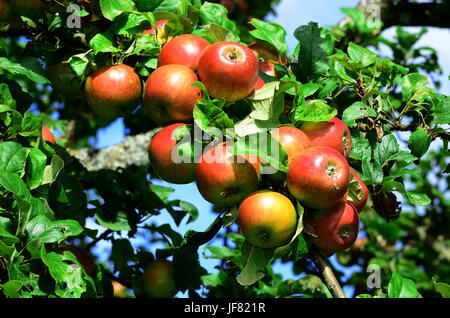 tree, apple, appletree, - Stock Photo