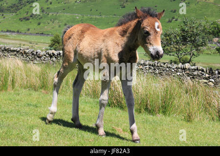 Welsh Mountain Pony Foal in Nant Ffrancon Valley, Snowdonia, Wales - Stock Photo