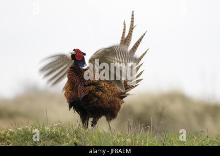 common pheasant displaying in frontview - Stock Photo