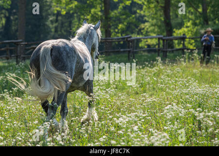 Catching a gypsy cob in the field - Stock Photo