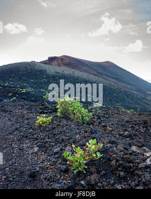 Cumbre Vieja, Fuencaliente, La Palma.  A small clump of vegetation growing in a vast arid landscape of the mountain - Stock Photo