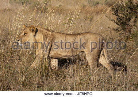 Portrait of a sub-adult male lion, Panthera leo, walking in tall grass. - Stock Photo