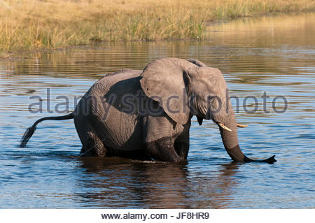 A young African elephant, Loxodonta africana, crossing the Savute Channel. - Stock Photo