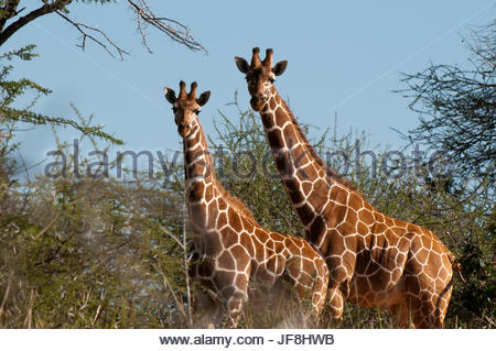 Two reticulated giraffes, Giraffa camelopardalis reticulata, among thorny acacia trees. - Stock Photo