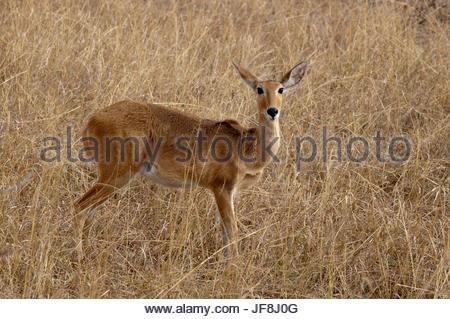 Portrait of a Bohor reedbuck, Redunca redunca. - Stock Photo