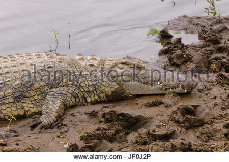 A Nile crocodile, Crocodilus niloticus, resting on a bank of the Mara River. - Stock Photo