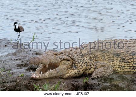 A Nile crocodile, Crocodilus niloticus, resting on a Mara River bank, with a shorebird nearby. - Stock Photo
