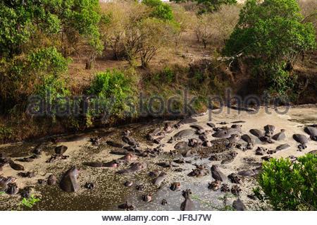A large group of hippopotamuses, Hippopotamus amphibius, crowded in the Talek River. - Stock Photo