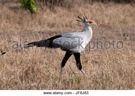 Portrait of a secretary bird, Sagittarius serpentarius, walking. - Stock Photo