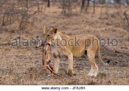 A lioness, Panthera leo, bringing a newborn impala kill, Aepyceros melampus, to her cubs. - Stock Photo