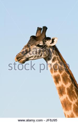 Portrait of a male Maasai giraffe, Giraffa camelopardalis tippelskirchi. - Stock Photo