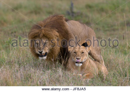 A male lion, Panthera leo, snarls as he mates with a submissive female below. - Stock Photo