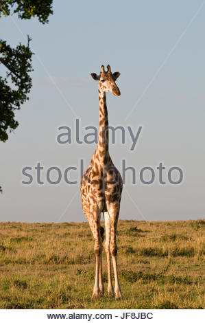 Portrait of a female Maasai giraffe, Giraffa camelopardalis tippelskirchi. - Stock Photo
