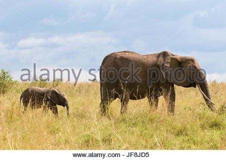 An African elephant calf, Loxodonta africana, following its mother in the tall grass. - Stock Photo
