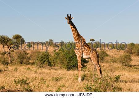Portrait of a male Maasai giraffe, Giraffa camelopardalis tippelskirchi, in a landscape of scrub. - Stock Photo