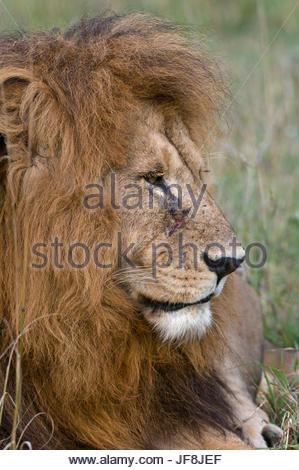 Close up portrait of a male lion, Panthera leo. - Stock Photo