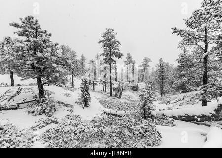Heavy winter snowfall in progress at Bryce Canyon National Park in black and white. - Stock Photo