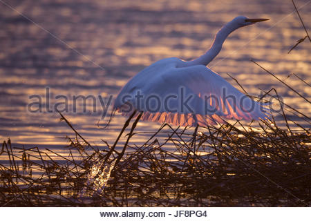 A great egret, Ardea alba, takes flight in the golden light of sunset. - Stock Photo