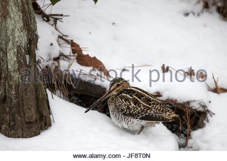 A well-camouflaged common snipe, Gallinago gallinago, in a snowy setting. - Stock Photo