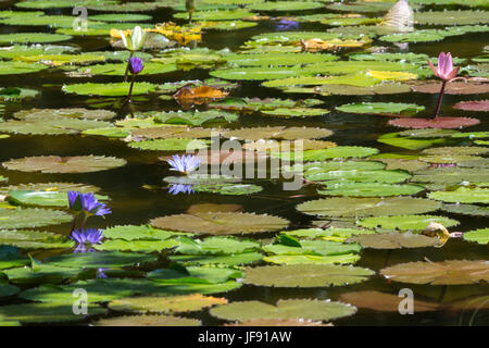 Dc Washington Kenilworth Aquatic Gardens Pink Lotus Blossom Stock Photo 8961275 Alamy