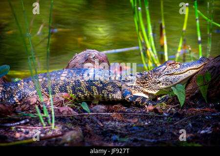 A baby alligator enjoys the swamp life sunning by a small pond. - Stock Photo