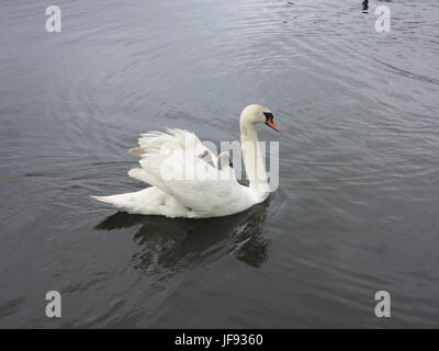 Swan with two cignets - Stock Photo