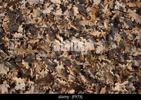 Quercus robur, German oak, autumn leaves - Stock Photo