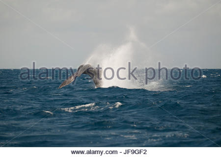 A humpback whale tail slapping. - Stock Photo