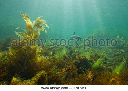 A leopard shark swims off the coast of San Clemente Island. - Stock Photo