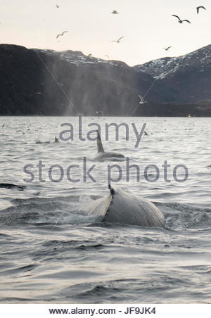 A humpback whale surfaces with orcas. - Stock Photo