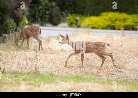 Black tailed Deer Fawn - Stock Photo