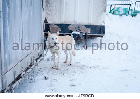 A husky from a dog sledding team waits to give tourists rides during a bitterly cold Winter Carnival in Quebec City, - Stock Photo