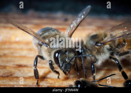 Bees working the carpathian breed close-up on a bee-frame in a beehive on honeycomb with honey of natural color - Stock Photo