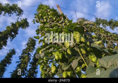 Hops in the Hallertau region, Upper-Bavaria - Stock Photo