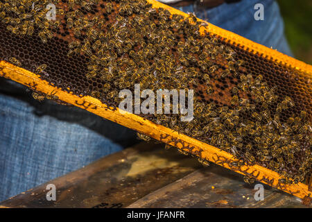 blue marked bee queen among  bees  on honeycomb removed from hive - Stock Photo