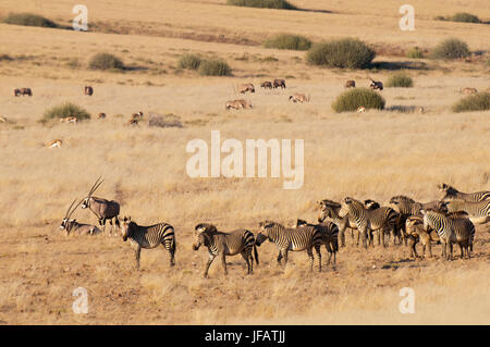 Hartmann's mountain zebra (Equus zebra hartmannae), Gemsbok (Oryx gazella) and Springbok (Antidorcas marsupialis), - Stock Photo